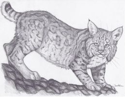 Bobcat by TheSolitarySandpiper