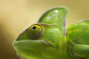 Chameleon by pictorus