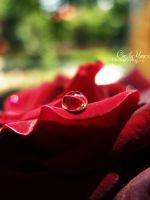 The Rose by ceciliay