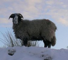 yorkshire sheep by Abigial709b