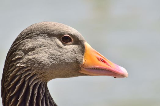 Greylag Close-Up by sockhiddenunderarook