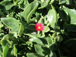 Small red flower by thanatopsis3