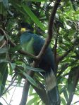 Avifauna - Great Blue Turaco by SSJGarfield