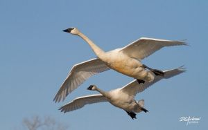 Final approach Trumpeter swans by DGAnder