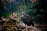 Black Vulture by R-3ality