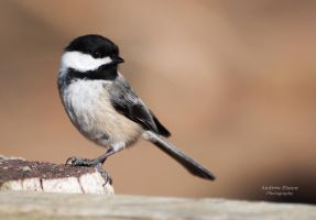 Chickadee 2 by AEisnor