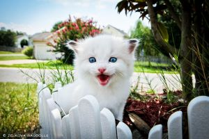 seal bicolor ragdoll by venomxbaby