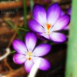 Day 94: Crocus by poserfan-pholio