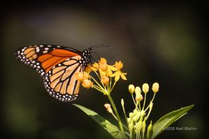 Monarch by Karl-B