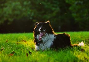 Border Collie At Sunset by Kimlee1807
