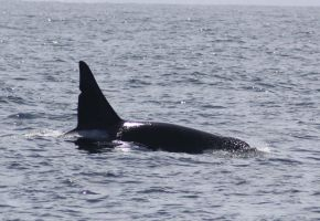 Transient Orca Bull 0414018 by OrcinusPacifica
