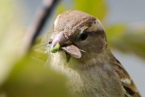 Sparrow catches a grasshopper by dog123456