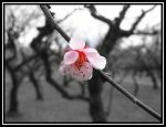 Blossom in a gray world by Naye