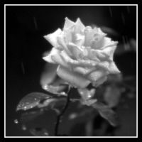 Rose in Rain by TomasGarcia