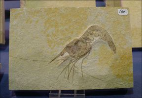 Fossilized Shrimp by Undistilled
