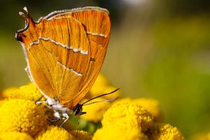 Brown Hairstreak by Deviantgazer