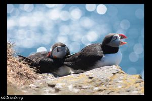 Puffins by Cecilou-chan