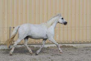 Welsh Pony Trotting by LuDa-Stock