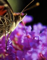 Butterfly Getting Nectar by eccoarts