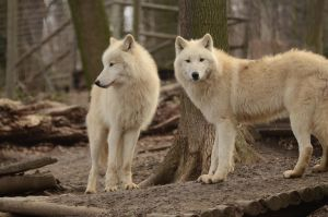 New White Wolves 11 by Lakela