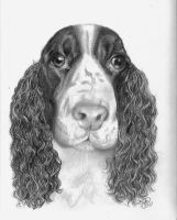 springer spaniel by winstonscreator