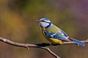 Blue Tit in colors by Ganjalvi