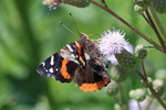 Red Admiral 4 by Gerryanimator