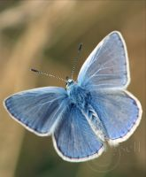 Butterfly_6 by Zoralysell
