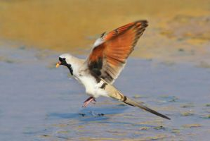 Namaqua Dove - Blur of Flight by LivingWild