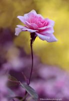 A Pink Rose II by theresahelmer