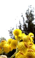Yellow Paper Daisies by Carrion-Marionette