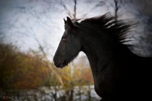 Friesian III by vadalein