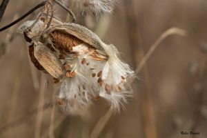 Milkweed by Les-Piccolo