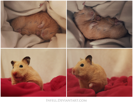Zelda. The Hamster by Infell