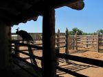 A Peacock in the Old West? by SilverTop