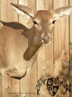 Whitetail Doe Shoulder Mount 1 by AutumnCreekTaxidermy