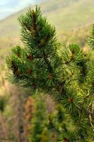 Rocky Mountain Pine by sequential