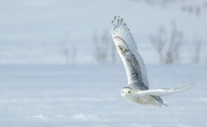 Snowy owls by RichardRobert