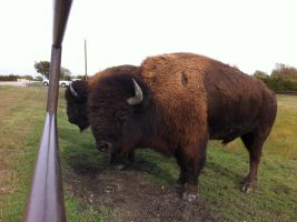 North American Buffalo by CatherineCross