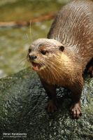 An otter's snare by duhcoolies