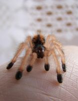 Baby-spider by Alsiza