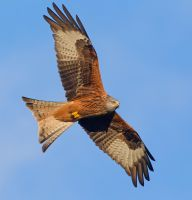 Master of the sky - Red Kite by Jamie-MacArthur