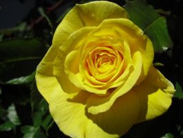 Yellow Rose by angelskissme
