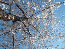 Cherry Blossem Tree by Dmims