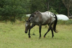 Appaloosa Trot/Head Down by YumpyStock