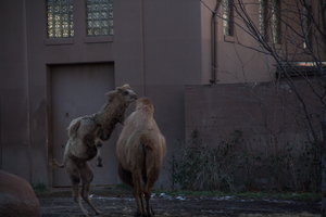 Adolescent Camel Annoying Adult by joshthecartoonguy