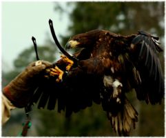 Harris Hawk by Pattarchus