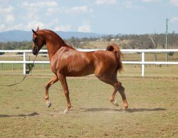 GE Arab chestnut trot neck arc side by Chunga-Stock