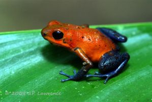 Blue Jeans Dart Frog by MonarchzMan