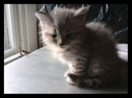 Maine Coon kitten XIV by LanimilbuSx